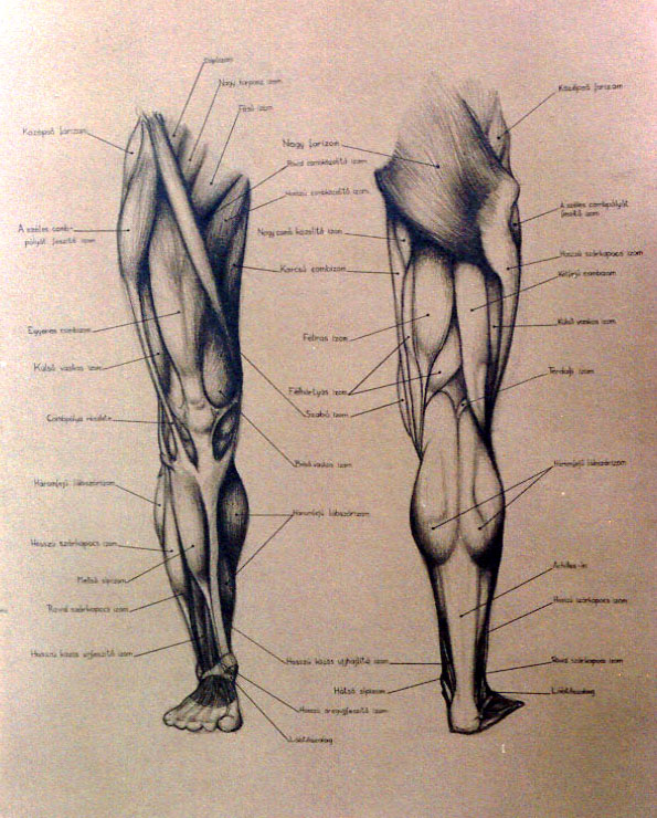 legs_anatomy_front_back